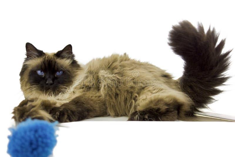 Gato siberiano foto de archivo libre de regalías