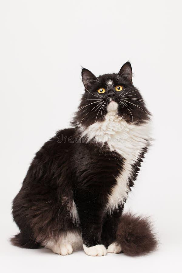 Gato siberiano blanco y negro fotografía de archivo libre de regalías