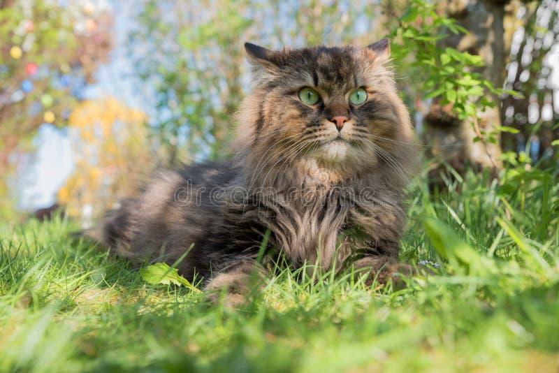 Gato siberiano de Brown en el jardín foto de archivo libre de regalías