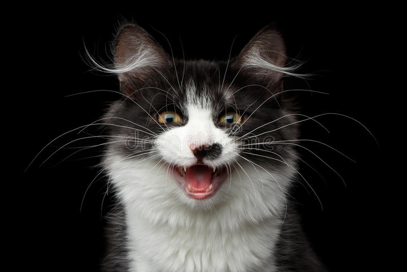 Gato siberiano en fondo negro aislado imágenes de archivo libres de regalías
