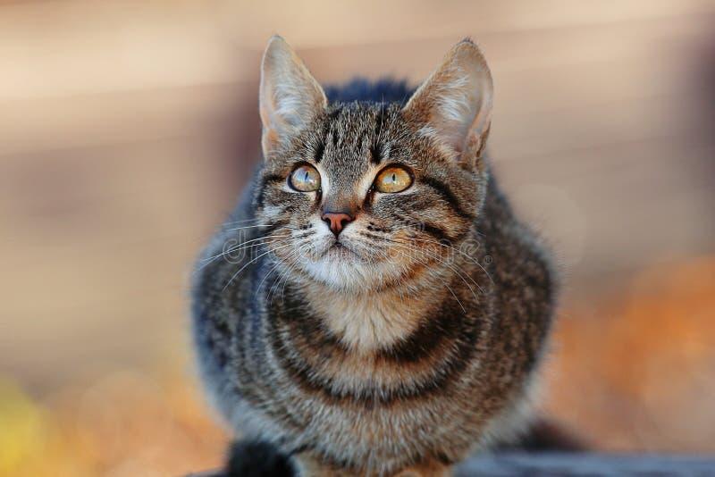 Gato siberiano gris hermoso fotos de archivo libres de regalías