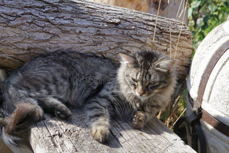 Gato siberiano gris que miente en la madera foto de archivo