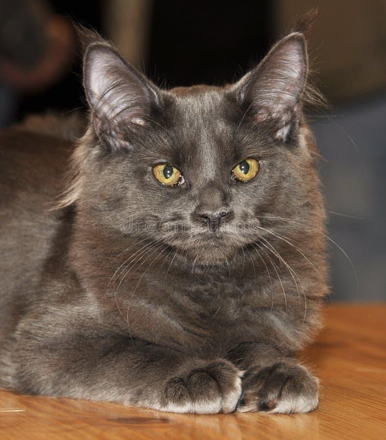 Gato siberiano peludo gris imagen de archivo libre de regalías