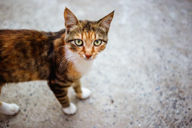 Gato sin hogar pelirrojo con los ojos verdes fotografía de archivo