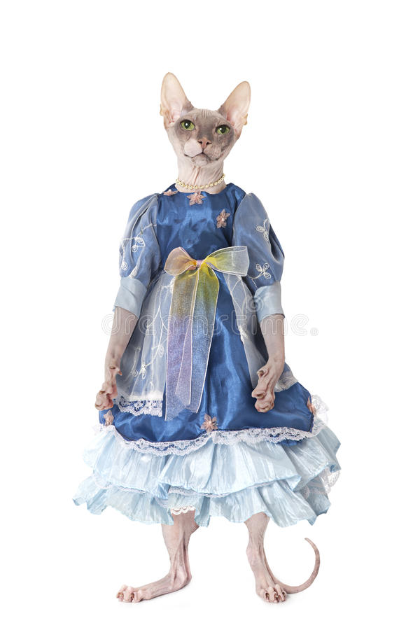 Gato sin pelo de Don Sphinx vestido como muñeca foto de archivo
