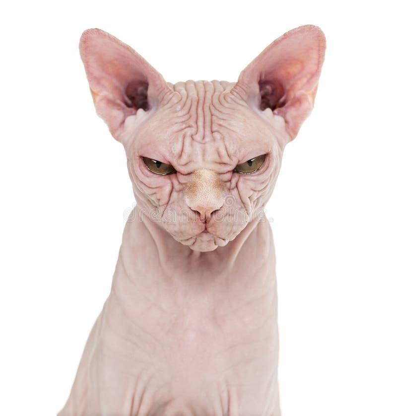 Gato sin pelo de Sphynx, 4 años, contra el fondo blanco fotografía de archivo
