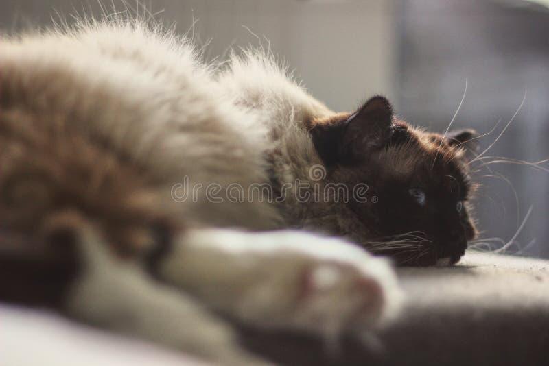 Gato soñoliento del ragdoll que descansa sobre un sofá fotos de archivo