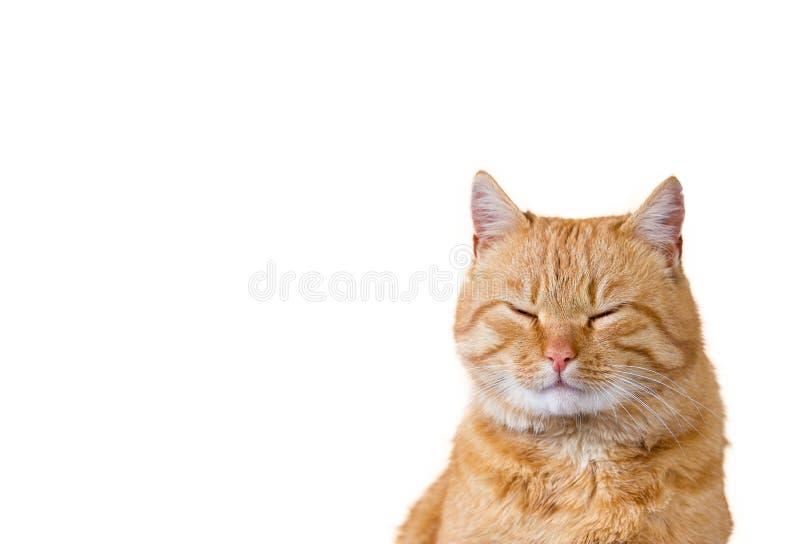 Gato soñoliento en el fondo blanco imagen de archivo