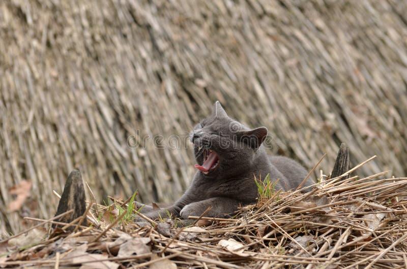 Gato soñoliento perezoso de bostezo al aire libre imagen de archivo libre de regalías