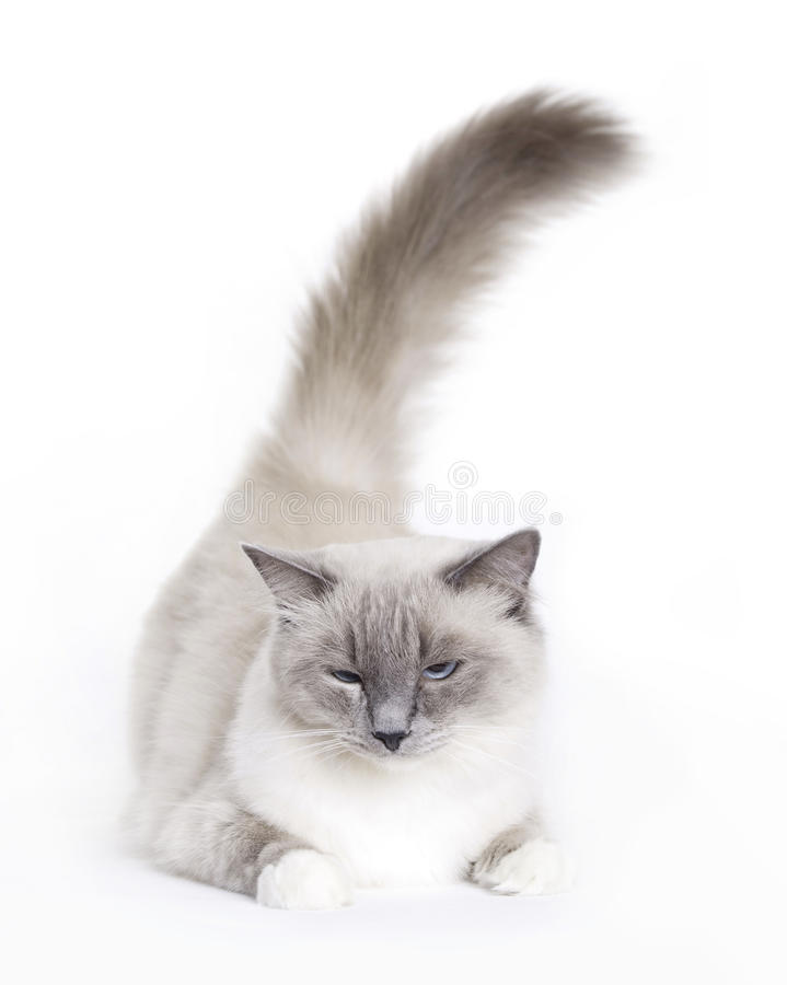 Gato soñoliento, Ragdoll imagen de archivo