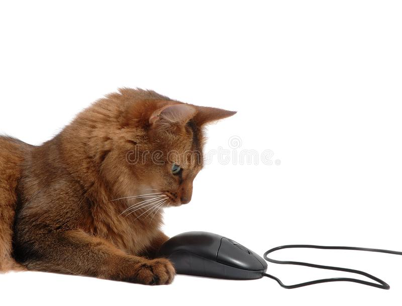 Gato somaliano com o rato preto do computador, isolado fotografia de stock royalty free