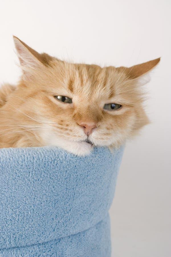 Gato sonolento dois da vaquinha imagens de stock