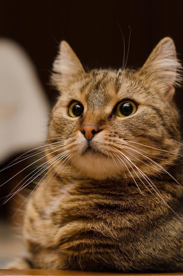 Gato sorprendido con los ojos grandes fotografía de archivo