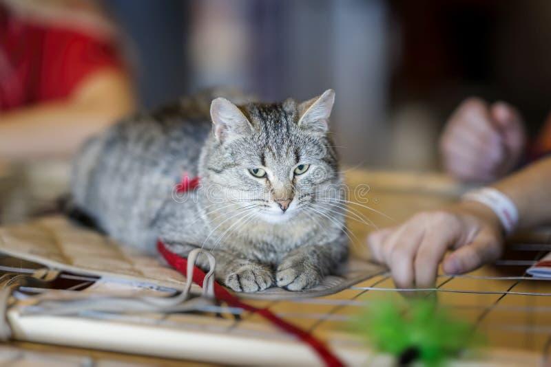 Gato sozinho com o olhar sério, encontrando-se na gaiola na casa de espera do abrigo, para que alguém adote-o, feliz jogar com fotografia de stock