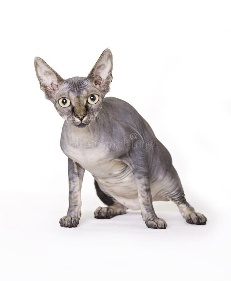 Gato, Sphynx fotos de stock royalty free