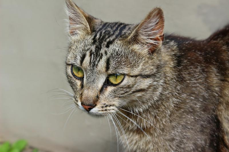 Gato, suiças, fauna, Dragon Li imagens de stock