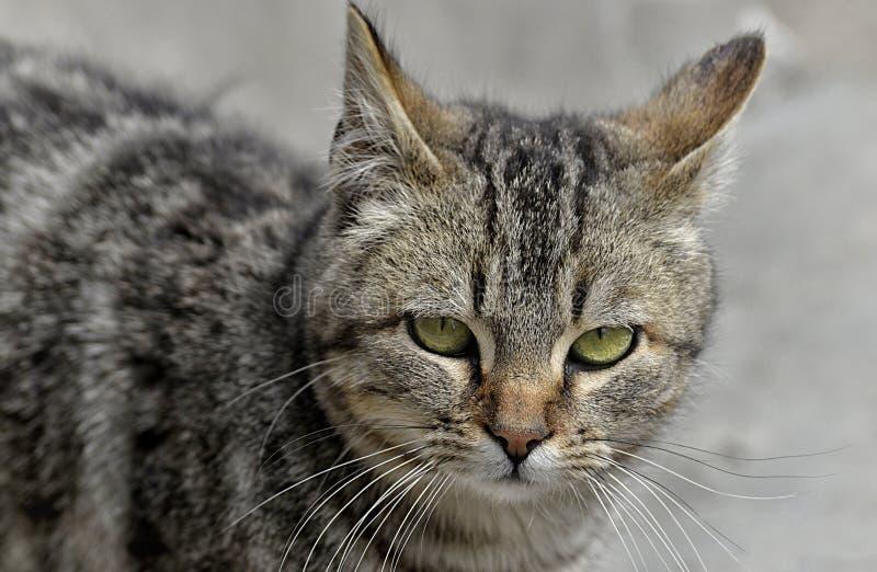 Gato, sui?as, fauna, Dragon Li fotos de stock