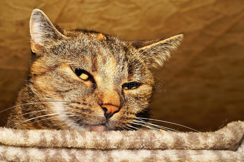 Gato, sui?as, fauna, Dragon Li imagem de stock