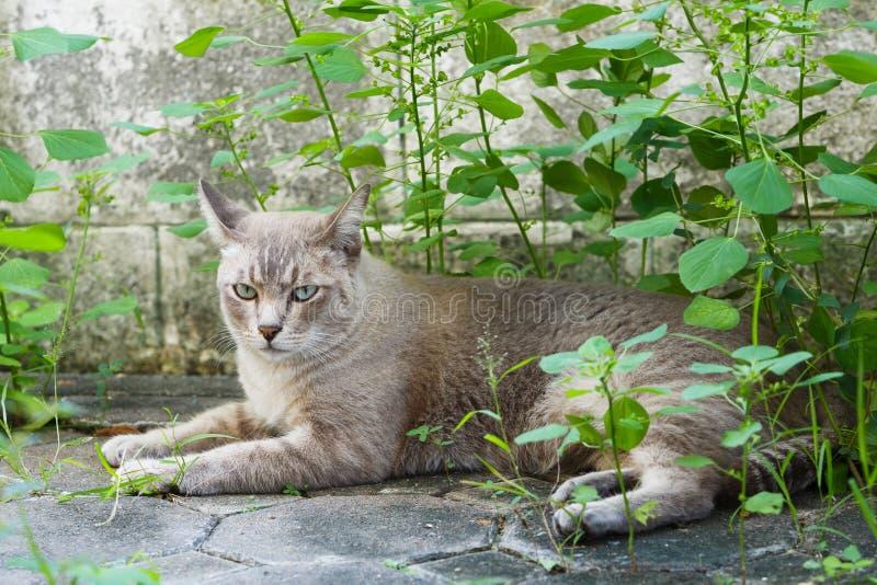 Gato tailandés imagenes de archivo