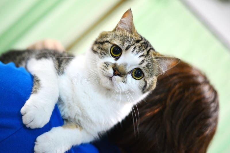 Gato tailandés fotos de archivo