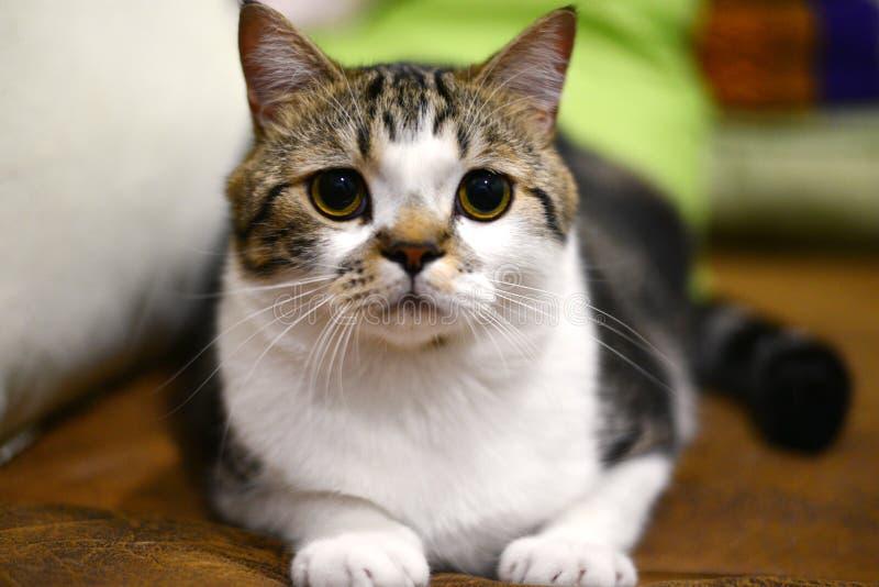 Gato tailandés imagen de archivo