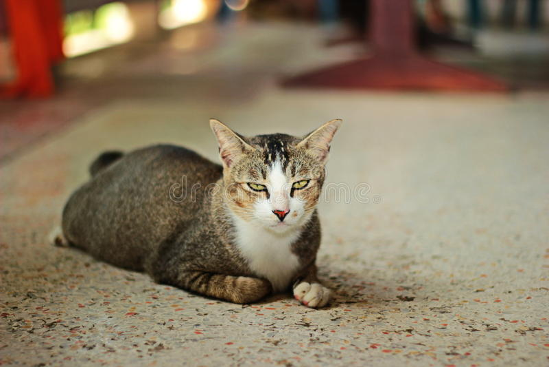 Gato tailandés fotos de archivo libres de regalías