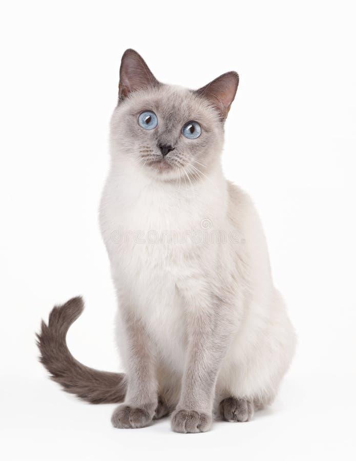 Gato tailandés en el fondo blanco imagenes de archivo