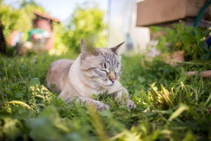 Gato tailandés en la hierba foto de archivo
