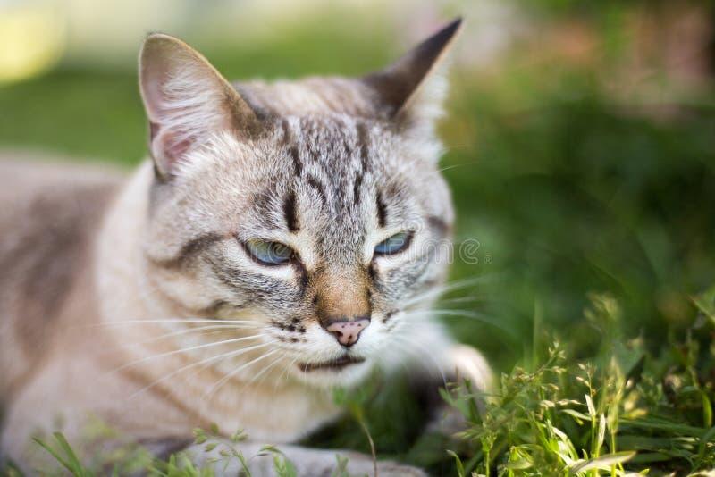 Gato tailandés en la hierba fotos de archivo