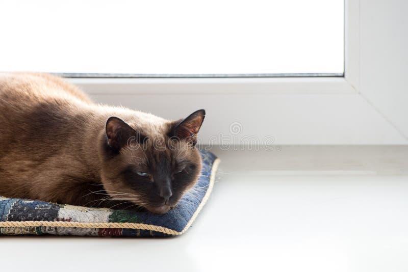 Gato tailandés que toma una siesta en una almohada fotos de archivo libres de regalías