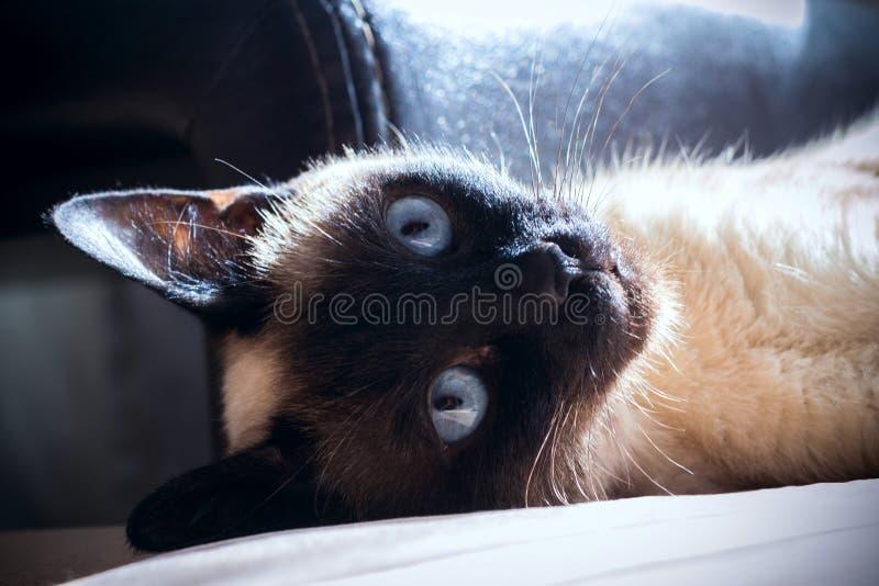 Gato, tailandês fotografia de stock royalty free
