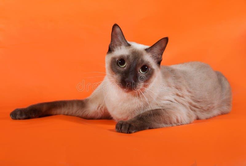 Gato tailandês com os olhos azuis que encontram-se na laranja fotografia de stock