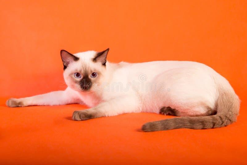 Gato tailandês no fundo alaranjado imagem de stock royalty free