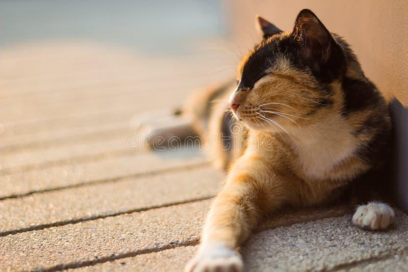 Gato tailandês preguiçoso imagem de stock