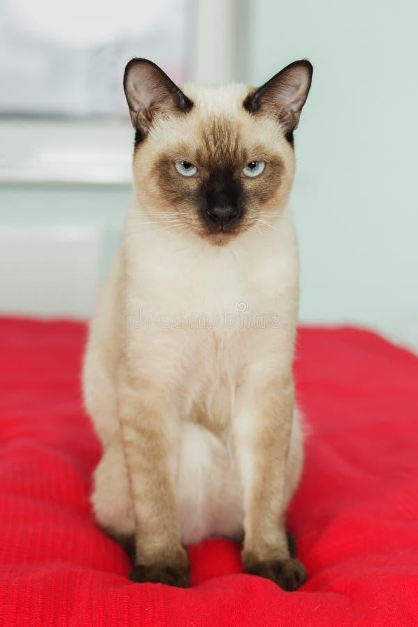 Gato tailandês severo e sério que olha restritamente imagem de stock