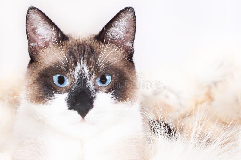 Gato tailand?s Siamese que senta-se em um tapete da pele para animais de estima??o, isolado no fundo branco fotos de stock