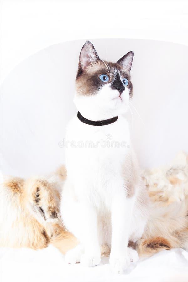 Gato tailand?s Siamese que senta-se em um tapete da pele para animais de estima??o, isolado no fundo branco imagens de stock royalty free