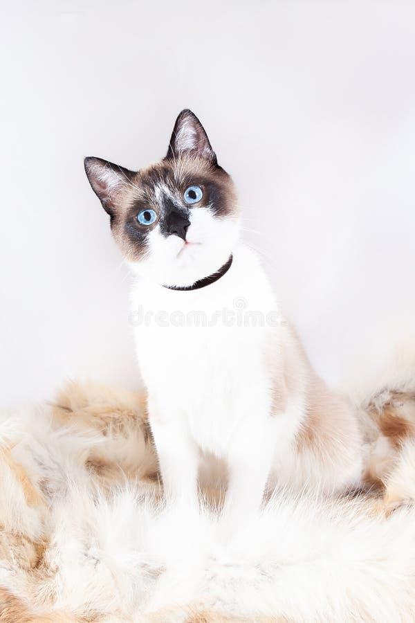 Gato tailand?s Siamese que senta-se em um tapete da pele para animais de estima??o, isolado no fundo branco fotografia de stock