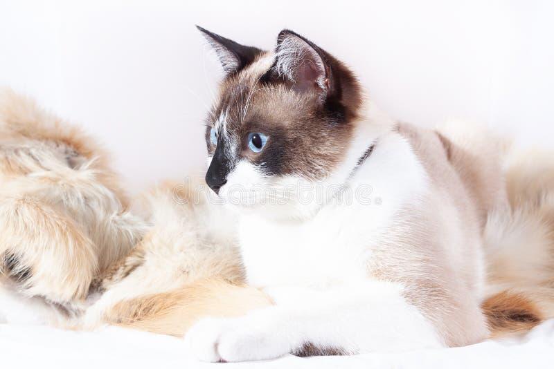 Gato tailand?s Siamese que senta-se em um tapete da pele para animais de estima??o, isolado no fundo branco imagem de stock royalty free