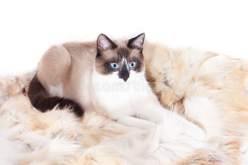 Gato tailand?s Siamese que senta-se em um tapete da pele para animais de estima??o, isolado no fundo branco imagem de stock