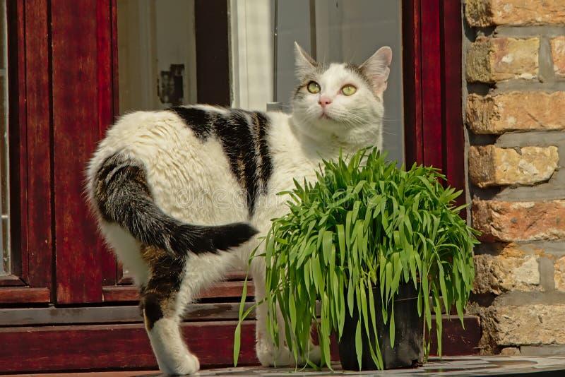 Gato todavía que se coloca al lado de un pote de hierba en la ventana imagen de archivo