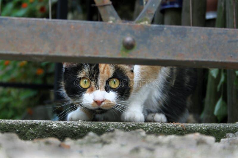 Gato tricolor foto de archivo