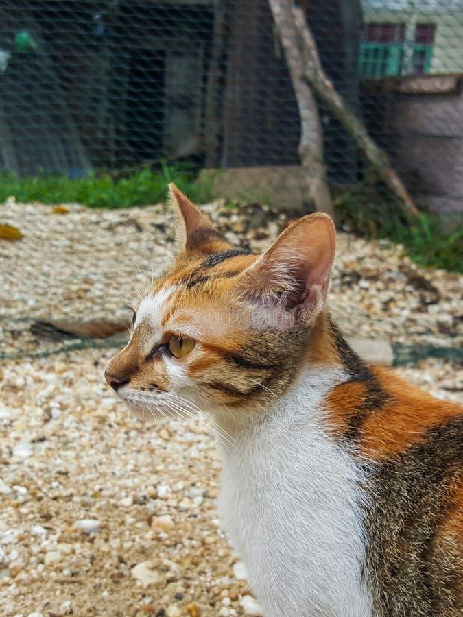 Gato tricolor foto de archivo libre de regalías