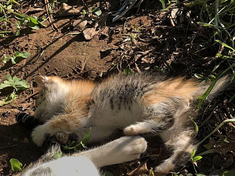 Gato tricolor del gatito del calicó juguetón fotos de archivo