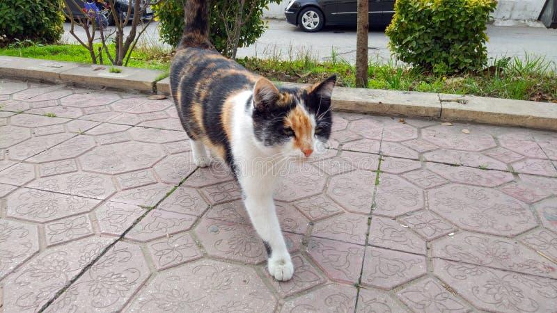 Gato Tricolor no passeio imagem de stock royalty free