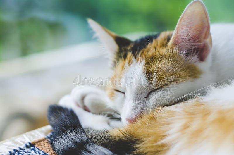 Gato Tricolor que dorme perto da janela pregui?oso imagens de stock royalty free