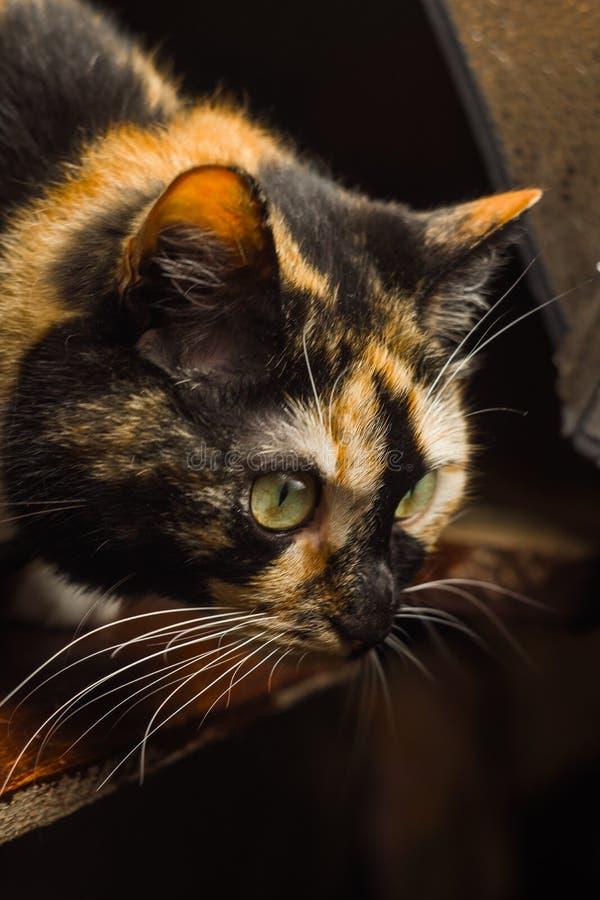Gato Tricolor que senta-se em um close-up de madeira da tabela focinho com macro longo do bigode imagens de stock royalty free