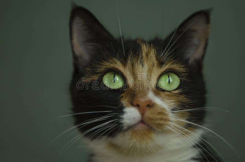 Gato Tricolour com olhos verdes fotografia de stock royalty free
