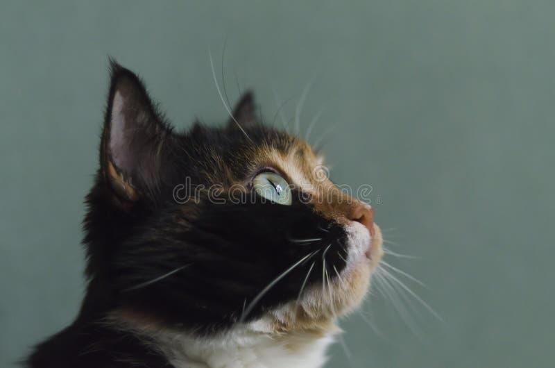 Gato Tricolour com olhos verdes imagem de stock