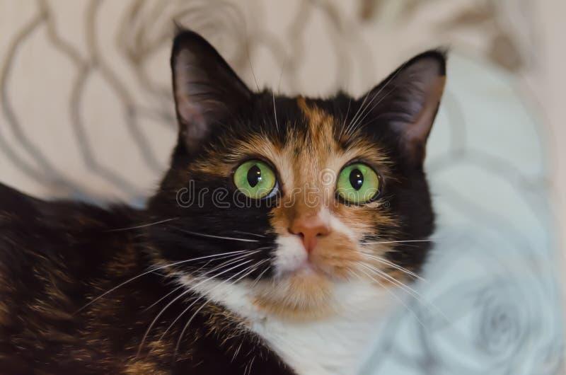 Gato Tricolour com olhos verdes fotos de stock royalty free